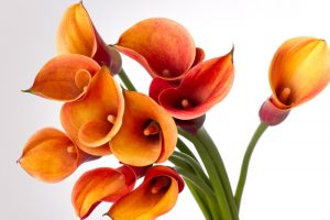 bouquet of orange Calla lilies